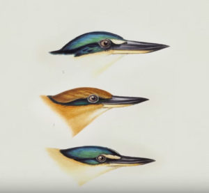 king fisher biomimicry illustrations goodkin